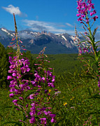 Lush Colors Framed Prints - Fireweed In Ohio Creek Valley Colorado Framed Print by Crystal Garner