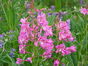 Mark Lehar Prints - Fireweed Print by Mark Lehar