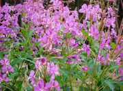 Dora Miller - Fireweed Patch