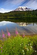 Mt. Rainier Photos - Fireweed Reflections by Mike  Dawson