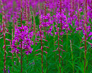 Fire Weed Prints - Fireweed Print by Tony Beck