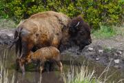 Bison Prints - First Born Print by Karon Melillo DeVega