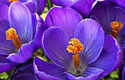 Garden Flowers Photos - First Crocus by Marilyn Hunt