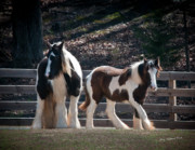 Gypsy Vanner Horse Framed Prints - First Days of Spring Framed Print by Terry Kirkland Cook