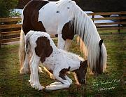 Gypsy Horse Prints - First Grass Print by Terry Kirkland Cook