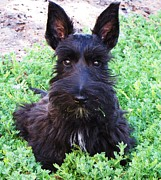 Scottish Terrier Puppy Prints - First Hair Cut and Looking Good Print by Michele Penner