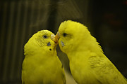 Parakeet Photos - First Kiss by Melanie Moraga