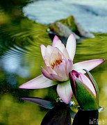 Water Lily Picture Prints - First Kiss Tender Moments - Water Lily Pond Print by Carol F Austin