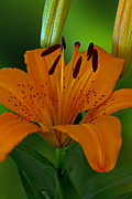 Day Lilly Prints - First Orange Bloom Print by Robert Pilkington
