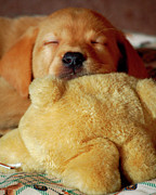 First Love Posters - First Puppy Snooze Poster by Diane E Berry