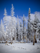 Snow Covered Pine Trees Prints - First Snow Print by Chris Brannen