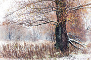 Snow Falling Photos - First Snow. Old Tree by Jenny Rainbow