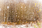 Birches Framed Prints - First Snow. Snow Flakes I Framed Print by Jenny Rainbow