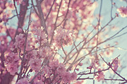 Cherry Blossom Prints - First Spring Blossom Print by Bonita Cooke