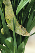 Fischer Prints - Fischers Chameleon Print by David Aubrey