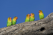 Lovebird Photos - Fischers Lovebirds Ngorongoro by Suzi Eszterhas