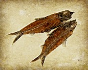 Fish Fossil Print by Barbara Henry