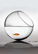 Glass Reflection Framed Prints - Fish In Fish Bowl Stressed In Danger Framed Print by Paul Strowger