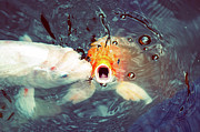 Koi In Water Prints - Fish Kissing Print by © Mel Hattie