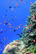 Coral Reef Prints - Fish On Tropical Coral Reef Print by Carl Chapman