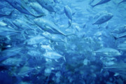 Blue Ocean Photos - Fish Schooling Harmonious Patterns Throughout The Sea by Christine Till