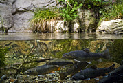 Brook Trout Image Prints - Fish Swimming In An Aquarium Print by Todd Gipstein