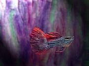 Fish Swimming In The Purple Print by Mario  Perez