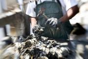 Peoples Republic Of China Photos - Fisherman Separating Clumps Of Oysters by Tyrone Turner