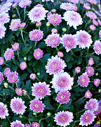 Fisheye Of Pink Flowers Print by Malania Hammer
