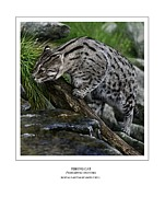 Vietnam Digital Art Framed Prints - Fishing Cat Framed Print by Owen Bell