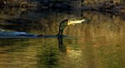 Cormorant Photos - Fishing Cormorant by Robert Frederick