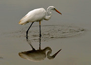Fishing Egret With Droplets - C3282q Print by Paul Lyndon Phillips