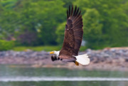 Eagle Photos - Fishing in the Rain by Mike  Dawson