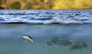 Angling Photo Framed Prints - Fishing Lure In Use Framed Print by Meirion Matthias