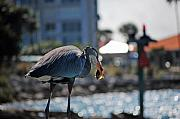 Gray Heron Photos - Fishing by Robert Meanor