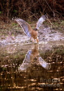 Red-shouldered Hawk Photos - Fishing with Talons by Carol Groenen