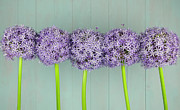 Flower Order Posters - Five Big Purple Ornamental Onion Flowers Poster by Cora Niele