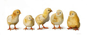 Cute Art - Five Chicks in a Row by Bob Nolin