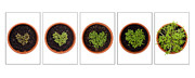 Seedlings Posters - Five Days Poster by Anne Gilbert