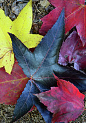 Five Fall Leaves Print by Sandi OReilly