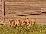 Fox Kits Framed Prints - Five fox kits by old Saskatchewan granary Framed Print by Mark Duffy