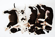 Great Dane Posters - Five Harlequin Great Dane Puppies Sleeping In Row, Overhead View Poster by Martin Harvey