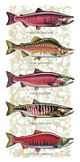 Fly Fishing Painting Posters - Five Salmon Species  Poster by JQ Licensing