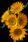 Flower Framed Prints - Five sunflowers Framed Print by Garry Gay