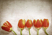 Arrangement Posters - Five tulips Poster by Sandra Cunningham