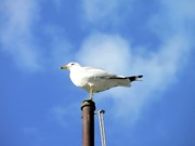 Gull Seagull Framed Prints - Flagpole Gull Framed Print by Al Powell Photography USA