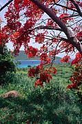Botanical Beach Photos - Flamboyan Tree by George Oze