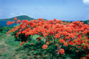 Botanical Beach Prints - Flamboyan Tree in Bloom Culebra Puerto Rico Print by George Oze