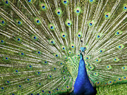 Peacock Art - Flamboyance by Mike Matthews Photography