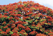 Regia Prints - Flamboyant Tree Print by David Nunuk